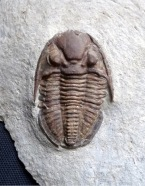 Trilobite (American Museum of Natural History)